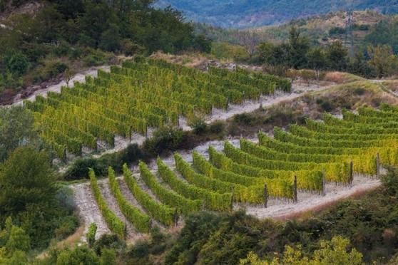Bosio Vineyards