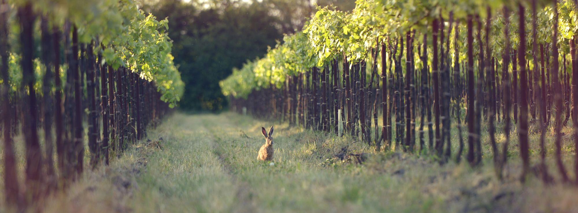 Hare in fields