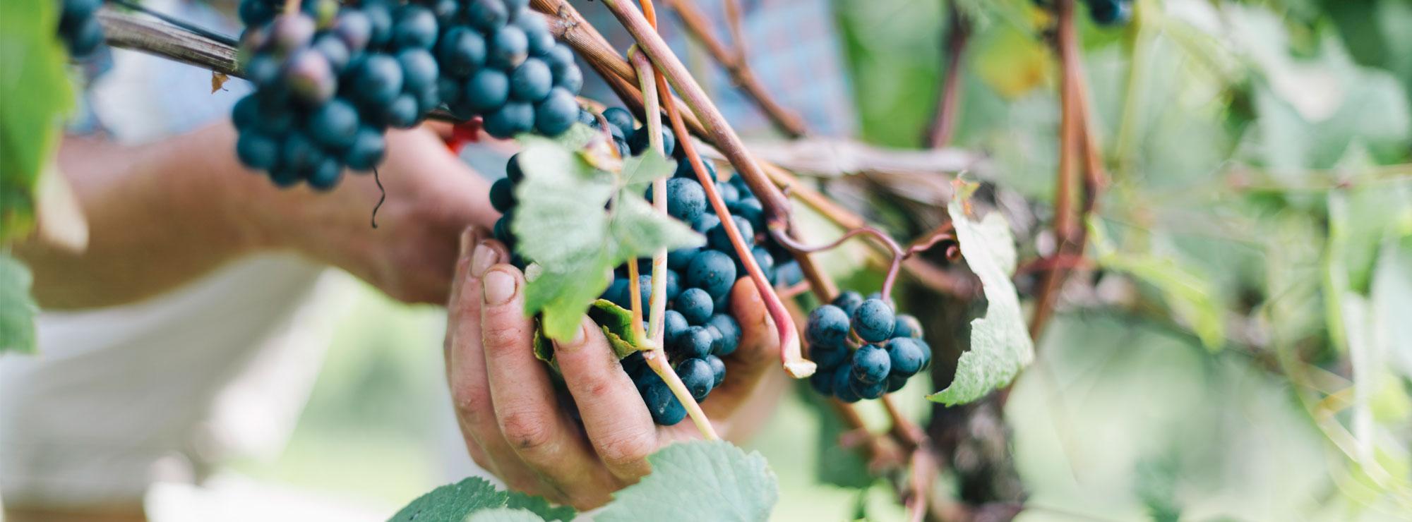 lyme bay grapes