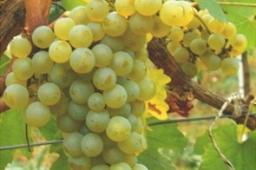 Melon de Bourgogne