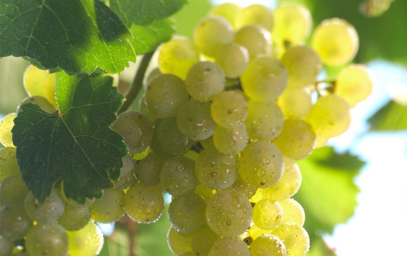 Here are five things that you need to know about Riesling